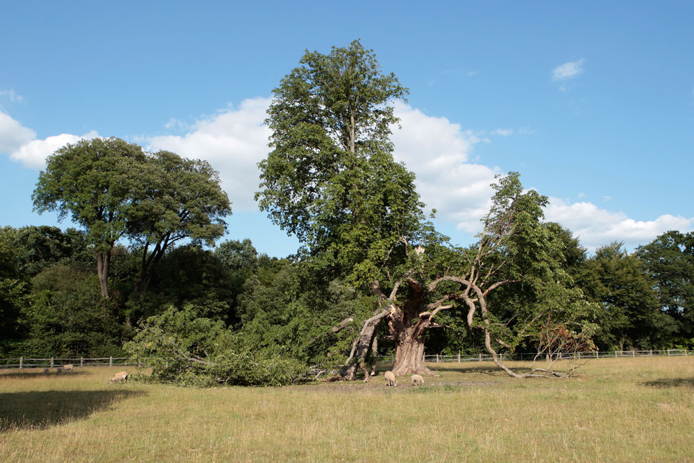 The Horse Chestnut in the parkland