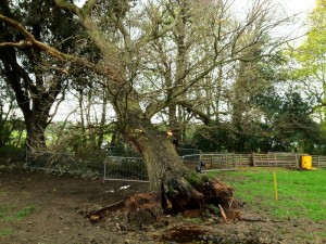 Second Oak Tree comes down in the park at Sennicotts