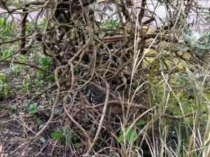 Mallard nesting in walled garden